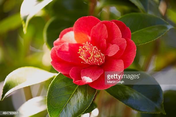 solitary camellia red blossom