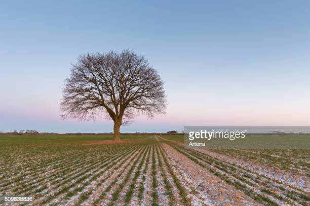 Solitary English oak / pedunculate oak / French oak tree in field in winter