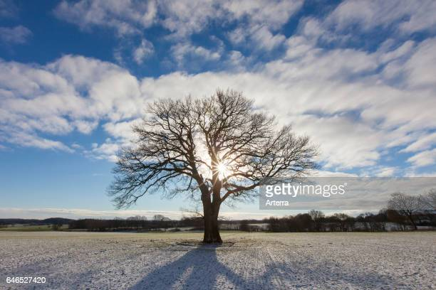 Solitary English oak / pedunculate oak / French oak tree in the meadow in winter
