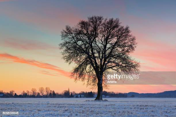 Solitary English oak / pedunculate oak tree in snow covered field at sunset in winter