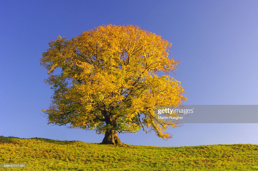 Solitary lime tree (Tilia sp.) against clear blue sky : Stock Photo