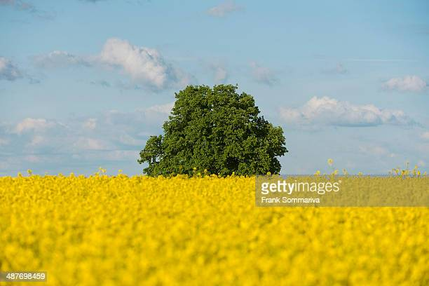 Solitary Lime tree -Tilia sp.- in a flowering Rapeseed field -Brassica napus-, Thuringia, Germany