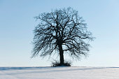 Solitary Lime Tree -Tilia spp.-, on a snow-covered field, Thuringia, Germany