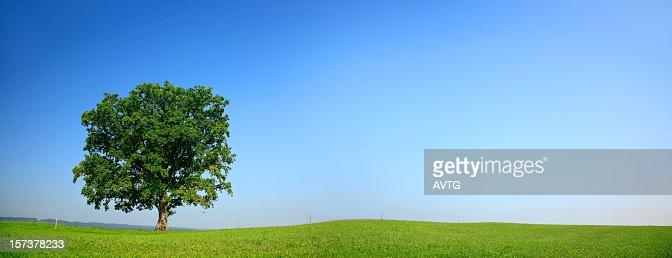 Solitary Oak Panorama