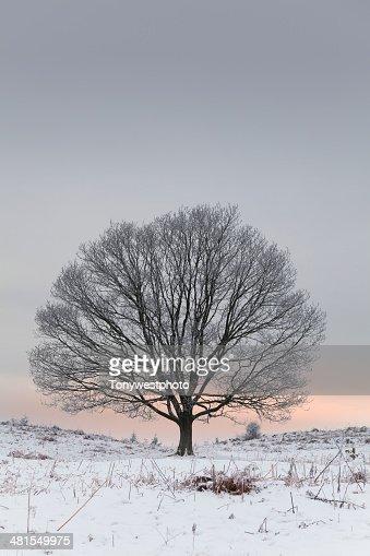 Solitary oak tree in winter