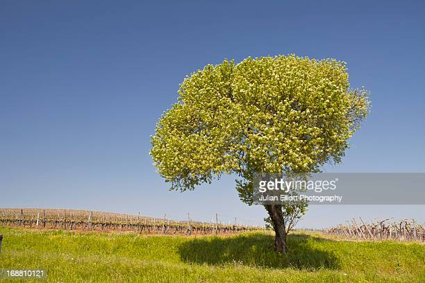 A solitary tree in vineyards near to Segonzac.