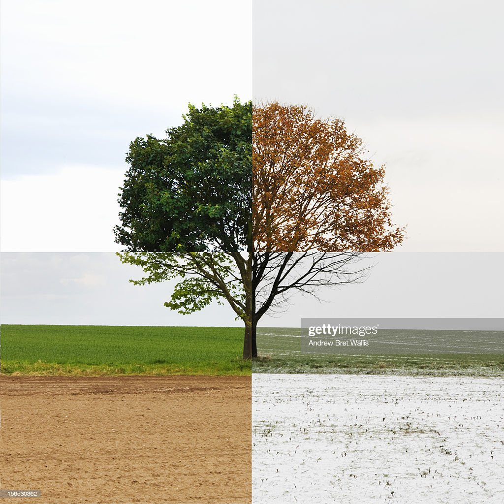 Solitary tree shown in all four seasons : Stock Photo