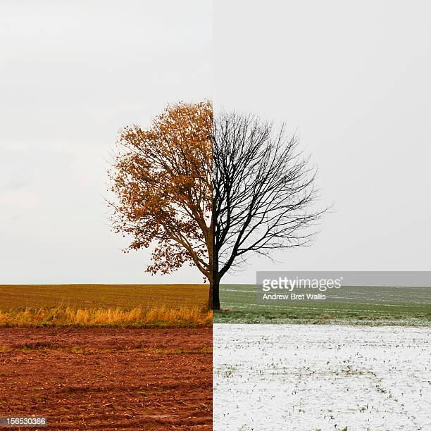 Solitary tree shown in Autumn and Winter seasons