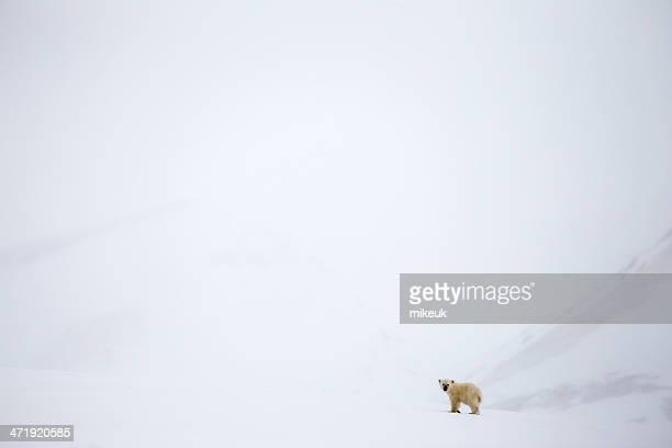 Einsamen Jungen polar bear cub in Spitzbergen