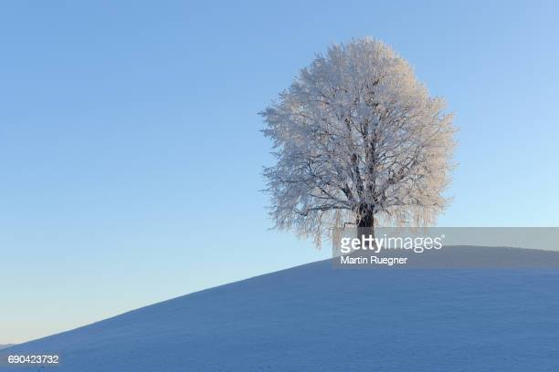 Solitude Lime Tree (Tilia spec.) on hill snowcovered (hoar-frost), snowy winter landscape.