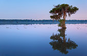 """Lonely bald cypress trees in Lake Martin, Louisiana."""