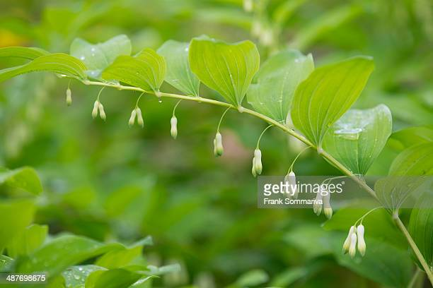 Solomon's Seal or Eurasian Solomon's Seal -Polygonatum multiflorum-, flowering, Thuringia, Germany