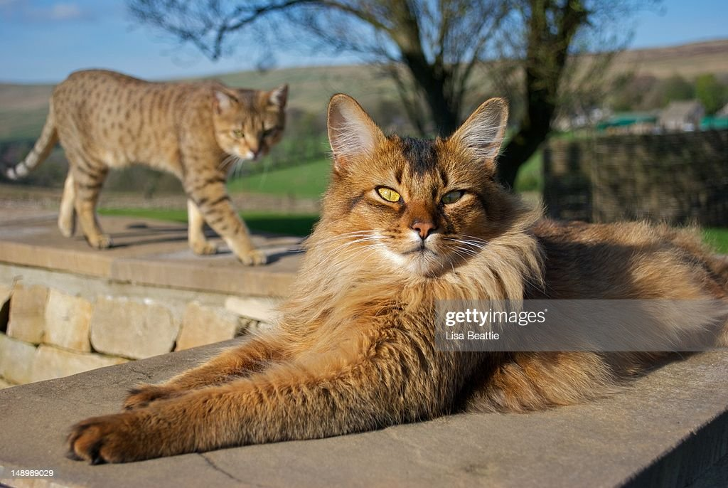 Somali Cat And Egyptian Mau Cat : Stock Photo