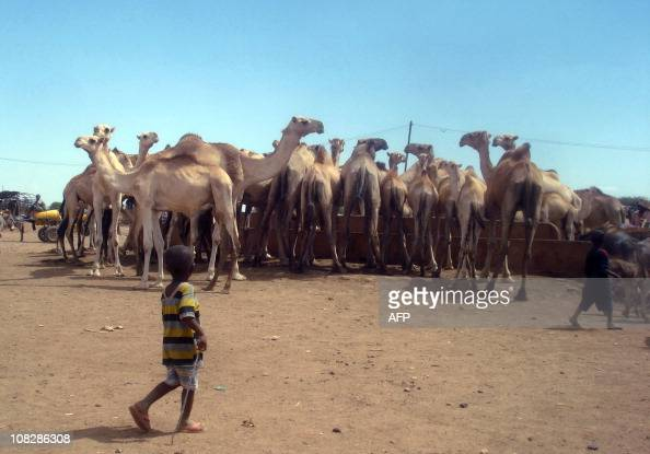 A Somali child walks past a herd of camels drinking water near the Wanlaweyn district in the lower Shabelle region 90 kms south of Mogadishu on...