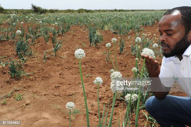 Somali water sanitation and hygiene engineer for the Irish charity ConcernWorldwide Khaled Haib inspects a field of onions at a Farmer Field School...