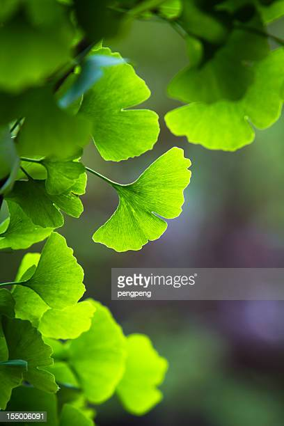 Some blur ginkgo biloba leaves