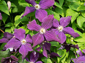 Some flowers. Clematis viticella. Violet colored, shades. Sunny summer day lighting.