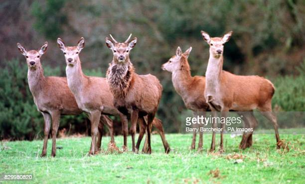 Some of 'Squeaky' the tamed deer's not so lucky fellow residents at the deer farm on the southern part of the Dartmoor wilderness in Devon Squeaky an...