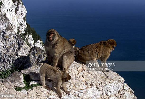 Some of the 300 macaques that live in Gibraltar play 10 February 2000 on a rock in the British colony in southern Spain The monkeys are starting to...