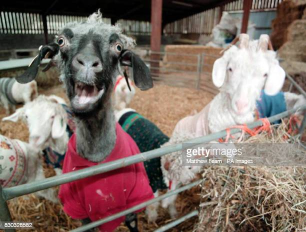 Some of the 50 strong herd of Angora goats who have an unusual way of keeping warm Their owner Robi Mandley from Llanveynoe South Wales came up with...