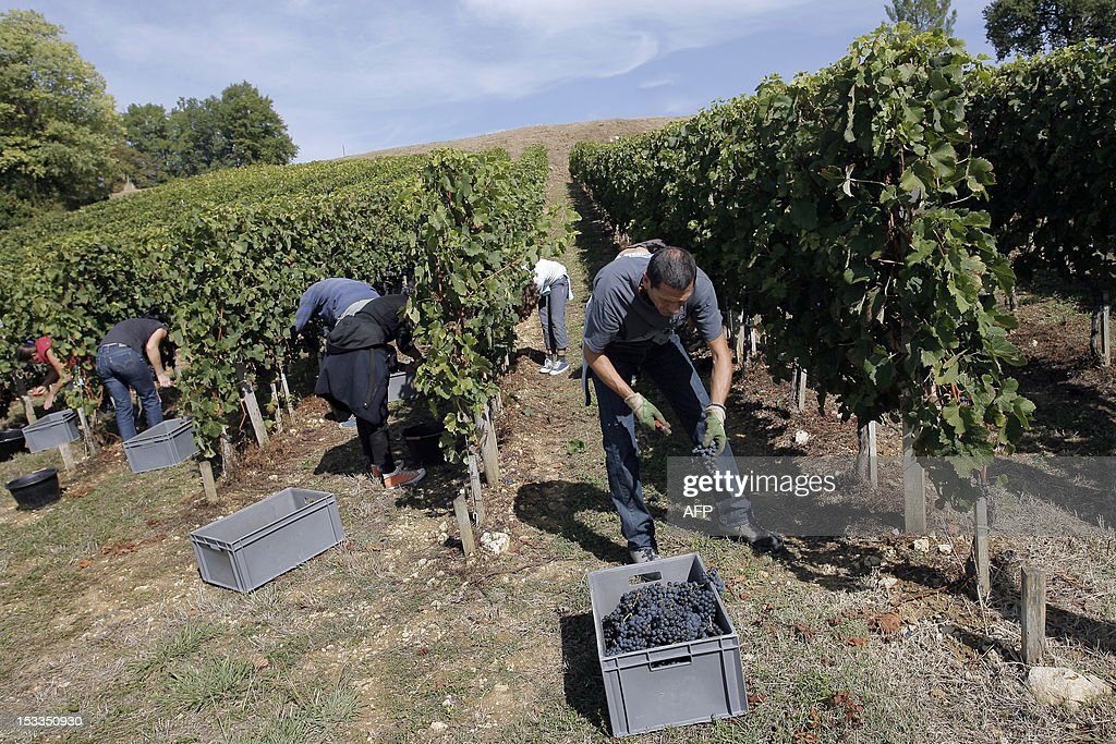 ABADIE - Some of the co-owners of the Chateau Reault vineyard (formely Chateau Reault la Graviere) take part in the grape harvest on September 29, 2012 in Paillet, western France. The co-owners joined a property sharing group or GFA (Groupe Foncier Agricole) for 1500 euros, an investment that equates to 165 vines and 36 bottles per year labelled with each purchaser's own name.