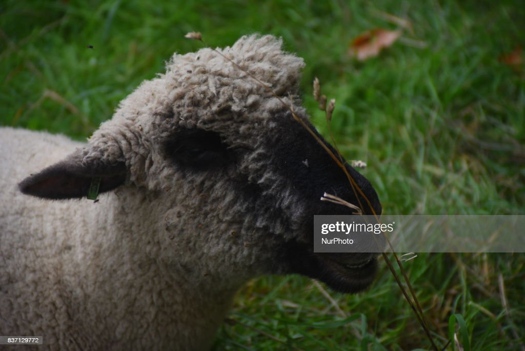 Some Sheep are pictured while grazing at Green Park, London on August 22, 2017. The sheeps have been brought from Madchute City Farm, to Gren Park, as part of a wildlife scheme to help a flower meadow and the insects that rely on it. The sheep are part of a conservation trial taking place in The Green Park, next to Buckingham Palace, where they will spend the week grazing one of the parks wildflower meadows.