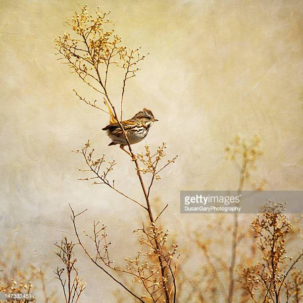 Song Sparrow in Serene Scene