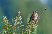 Song sparrow on shrub branch with beak open singing a song in the evening sunlight.
