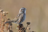 Song Sparrow perched on a shrub