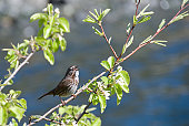 A song sparrow (Melospiza melodia) lives up to his name.