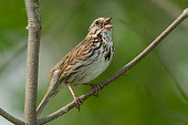 Song Sparrow perched on a branch and singing.