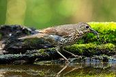 Song thrush(Turdus philomelos)