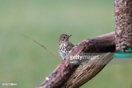 Song thrush : Stock Photo