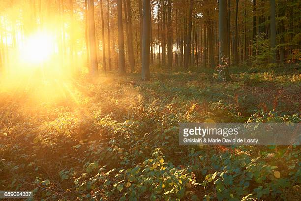 Sonian Forest at sunset, Brussels, Belgium