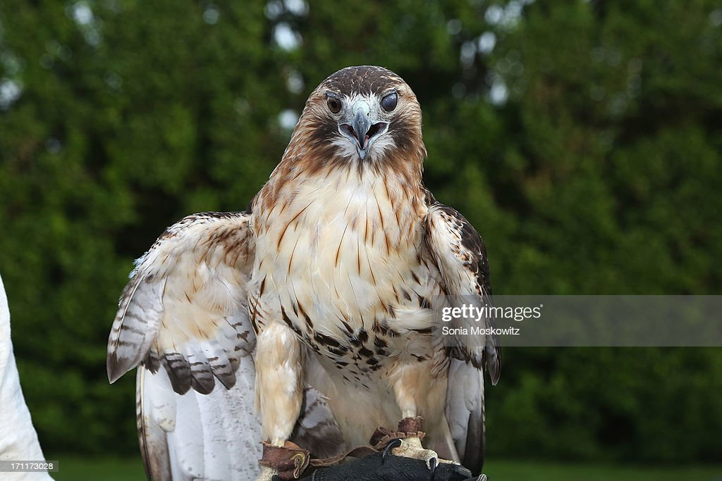 Sonja the Red Tailed Hawk at the Get Wild Event Benefiting Evelyn Alexander Wildlife Rescue Center at Private Residence on June 22, 2013 in Southampton, New York.