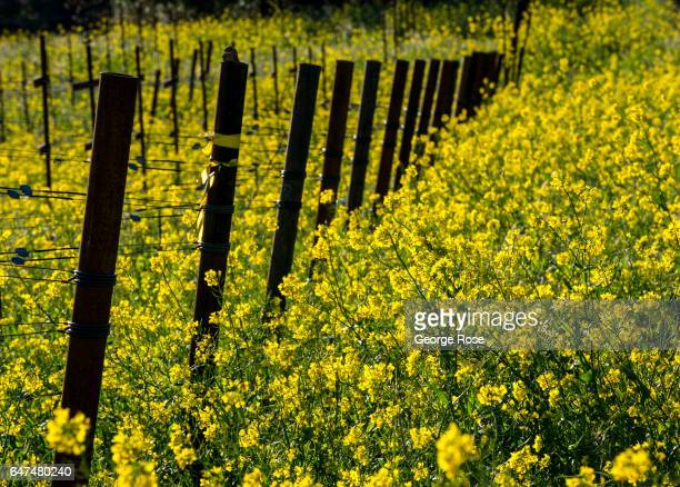 Sonoma Mountain cabernet sauvignon vineyard is covered in a field of mustard as viewed on February 22 near Glen Ellen California After record...
