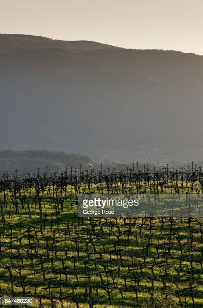 Sonoma Mountain cabernet sauvignon vineyard is viewed at sunrise on February 22 near Glen Ellen California After record rainfall battered the North...