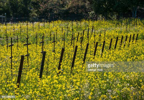 Sonoma Mountain vineyard is covered in a field of mustard as viewed on February 22 near Glen Ellen California After record rainfall battered the...