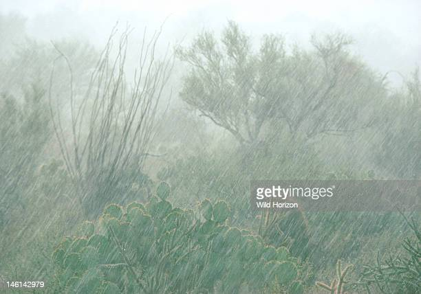 Sonoran Desert downpour during summer monsoon season Plants shown in this photo include ocotillo barrel cactus foothill paloverde prickly pear jojoba...