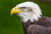 Bald eagle (Haliaeetus leucocephalus) close-up head shot