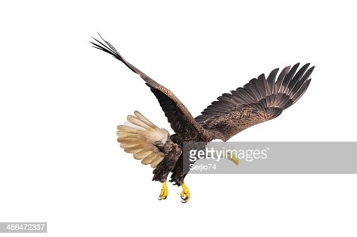 Bald eagle. : Stock Photo