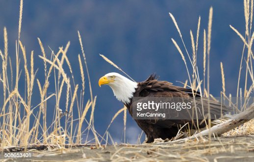 Bald Eagle : Stock Photo