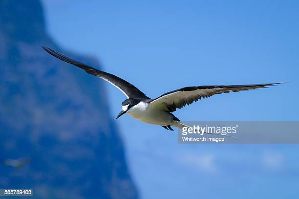 Sooty tern (sterna fuscata) in flight
