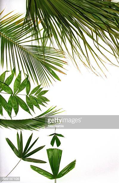 SOpalmrightspace0512AAG–––Palm fronds –– COUNTER–clockwise from top right Chinese Fountain Palm Coconut Palm Chamaedorea Klotzschiana Chamaedorea...