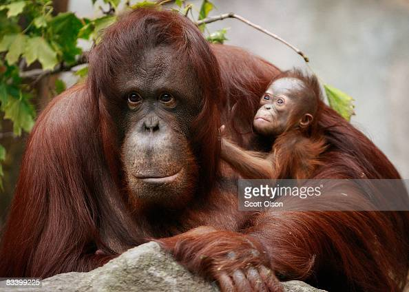 Sophia a twentysevenyearold Bornean orangutan holds her newborn in her enclosure at Brookfield Zoo October 23 2008 in Brookfield Illinois The female...