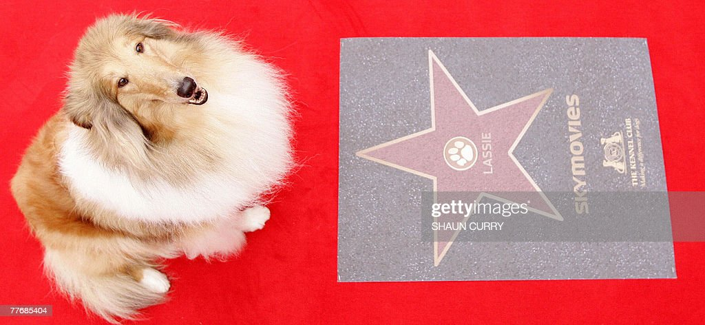 'Sophie' a collie, is pictured next to a floor plaque dedicated to the canine film star 'Lassie,' in Battersea Park, in central London, 05 November 2007. Britain's Kennel Club announced Monday the world's first Dog Walk of Fame honouring canine film stars such as Lassie, Gromit and Snowy. Winners will be selected by a public vote.
