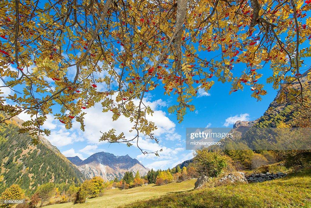 Sorbus aucuparia plant in the alps : Stock Photo