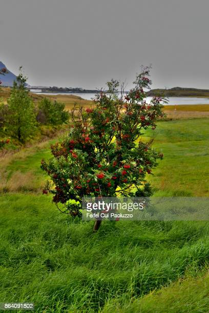 Sorbus aucuparia tree at Borg á Mýrum, Borgarnes, West Iceland