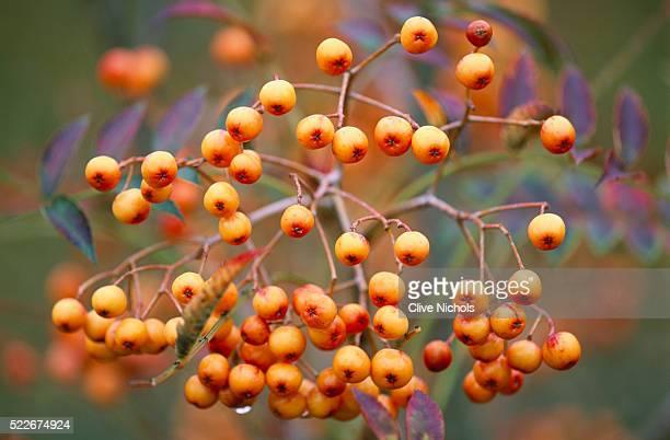 Sorbus 'copper kettle' berries