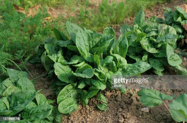 Sorrel Heads Of Sorel In A Garden